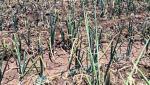 crops damage due to lack of water