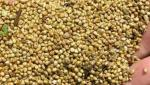 Experts worry about the spread of bio-rich millet varieties in Aurangabad