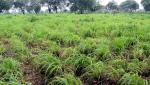 Fodder crops on 28 thousand hectares in the Nagar district