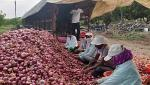Farmers' hurry for onion storage