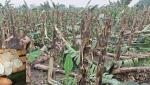 banana crop damage