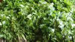 Improvement in fenugreek, kothimbiri rate in Solapur