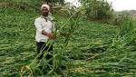 crops destroyed due to hailstorm In Nanded district