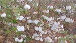 straight cotton varieties research station at 100 years