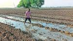 buldhana district in sowing 40 percent