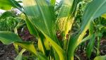 Farmers worried about the corn crop
