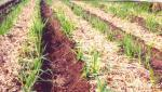 crop residue management through cultivation