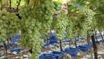 grapes export