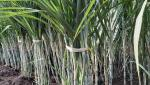 two lacks farmers will visit to sugarcane plots
