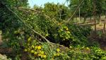crops damage due to stormy rain