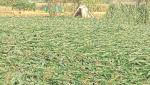 damage crops due to rainfall in Aurangabad, Jalna, Beed, Osmanabad, Latur districts
