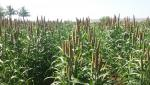 cultivation of pearl millet for fodder purpose