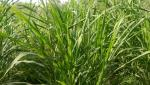 importance of bhn 10 hybrid napier grass