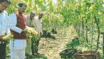 Grape gardens, onion crop destroyed in Pimparkheda