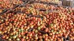 The incoming of tomatoes in Kolhapur is increasing