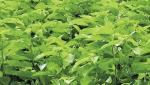 Mulberry on 1066 acres in Jalna district