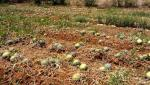 watermelon crop damage due corona issue
