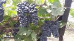 Exhibition of new grape varieties in Pune