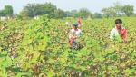 Cotton production will decline by more than 60 percent in Aurangabad, Jalna and Beed districts
