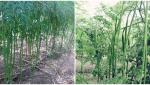 agriculture news in marathi Pruning management of moringa crop in summer season