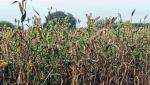 sorghum production decrease due to unconditional weather