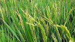 'Eight A' criteria for paddy growers canceled: Chhagan Bhujbal