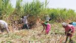 Three million metric tons of sugarcane silt by 12 factories in Marathwada, Khandesh