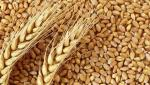 Wheat will be sale by token at Akola Market Committee
