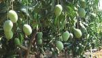 Efforts for Konkan mango growers started: Sunil Tatkare