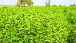 usefull fodder plants for livestock