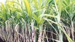 Sugar production will decline this year due to reduced sugarcane area