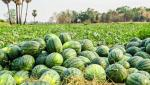 watermelon Shivar purchase system jam in Khandesh, hit farmers