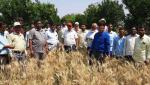 Influence of fungal disease on wheat straw in Parbhani district