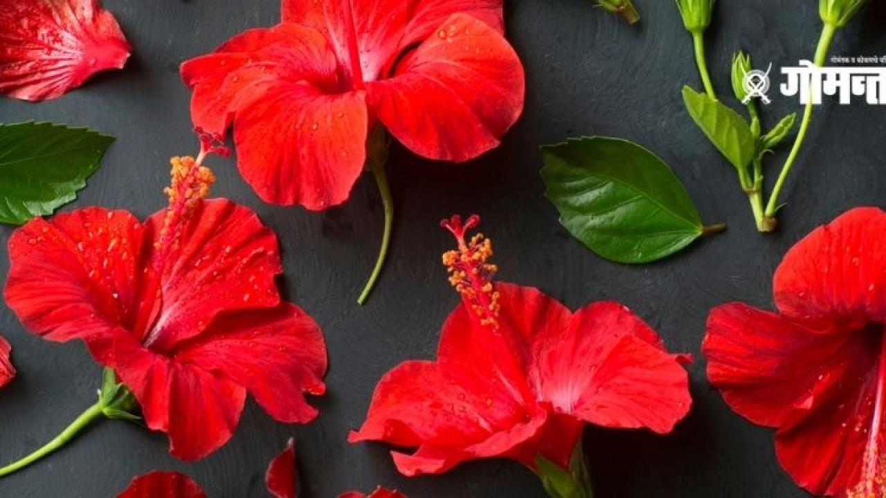 The beautiful flowers of Hibiscus are also beneficial