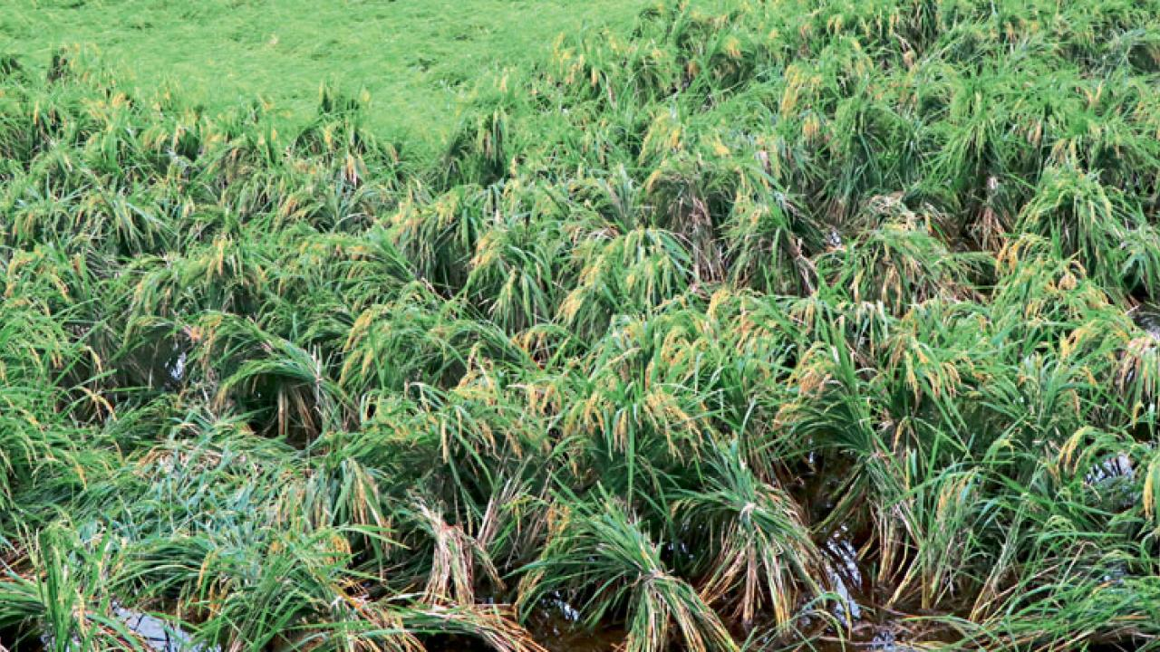 Paddy crops take a hit after heavy rain in Goa