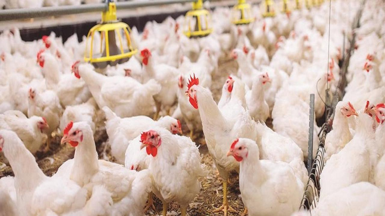 Career opportunities from the poultry business