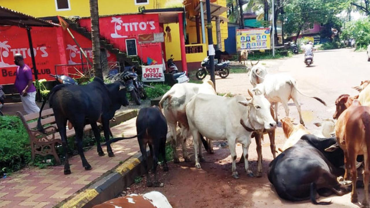 Cattle herds on the main road of Harmal