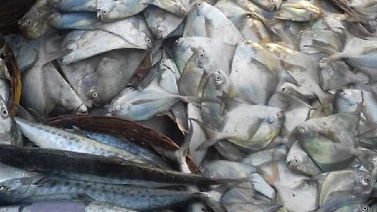 editorial article on fish prices high in Goa by Kishor Shetmandrekar