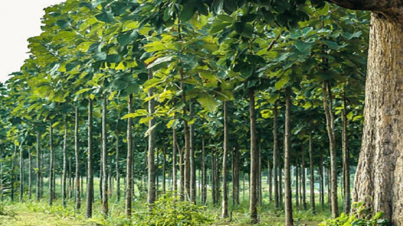 One arrested for Illegal deforestation of Sagwan trees in Sanguem sub district in Goa