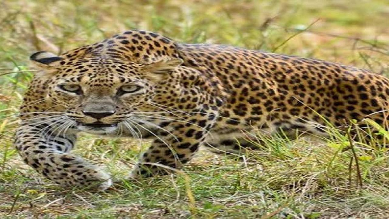 The accident took place when a leopard suddenly in front of the bike