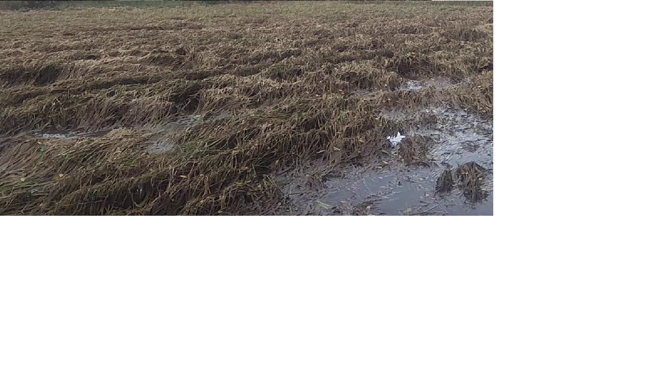 Damage to paddy crop due to rains in Fonda