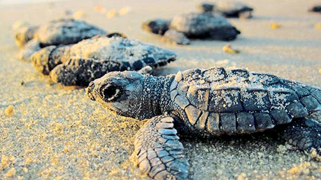 Beaches in Goa attracts turtle for nesting by Avit Bagle