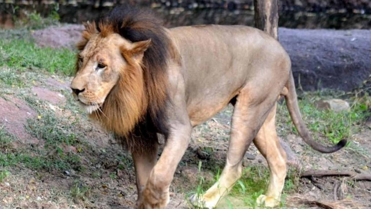 8 lions in Hyderabad infected with corona