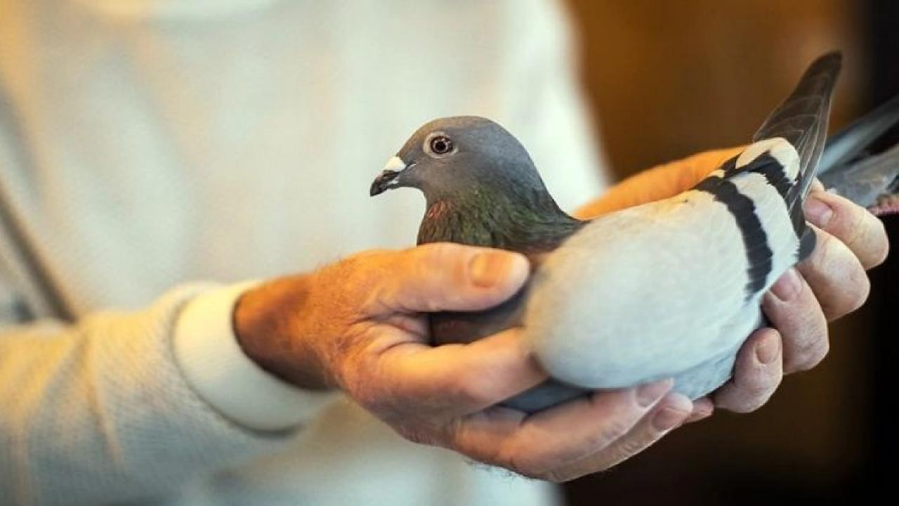 A case has been registered in Punjab against a suspected pigeon found on the India Pakistan border