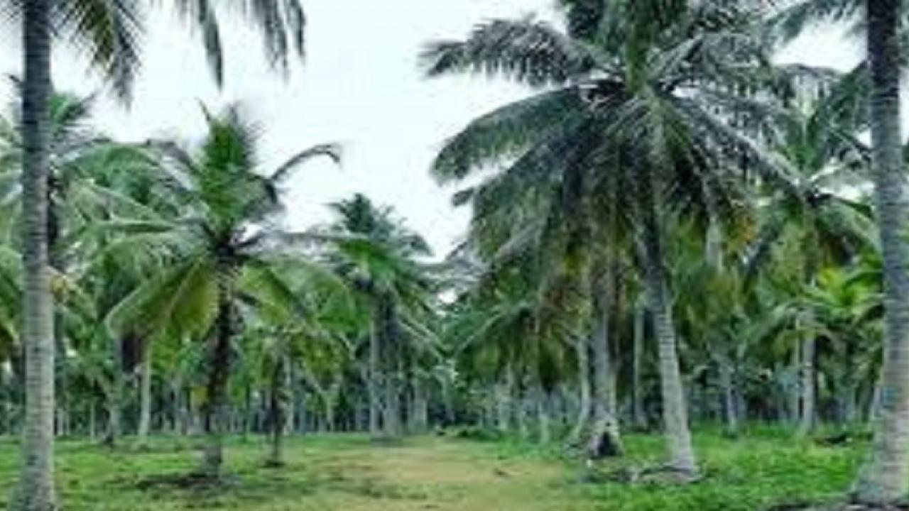 agriculture department to contribute to increase in production of coconut in goa