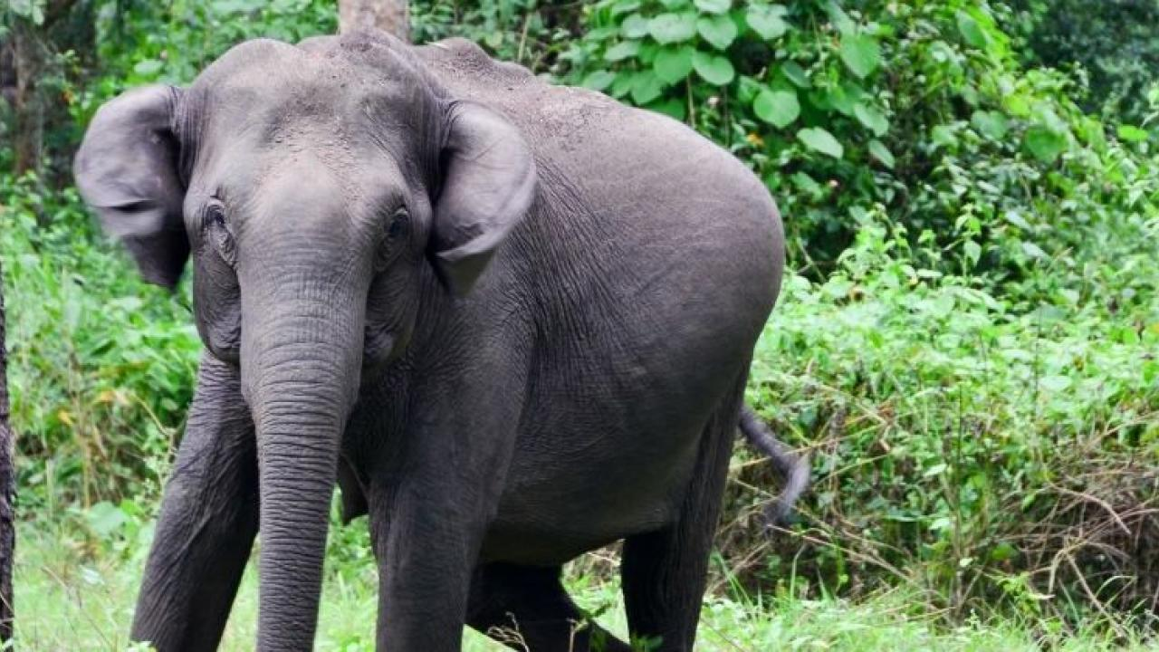 Elephants are likely to arrive at Pedne