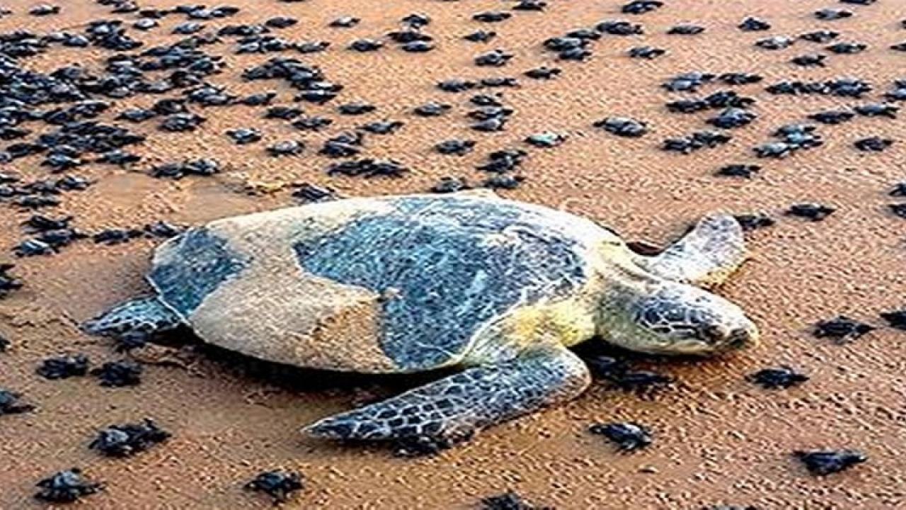 NGT confirms to Remove constructions where turtles lay their eggs