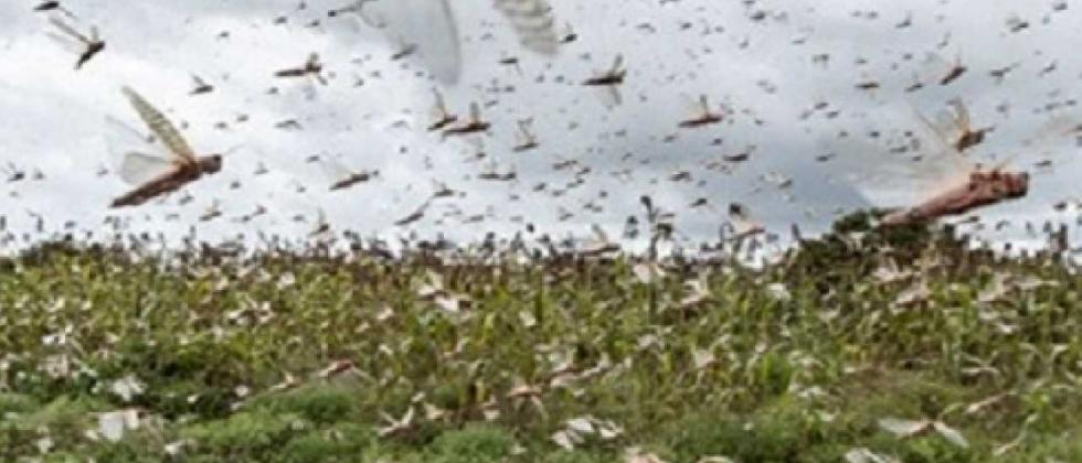 Locust control campaign in an area of ​​3 lakh hectares