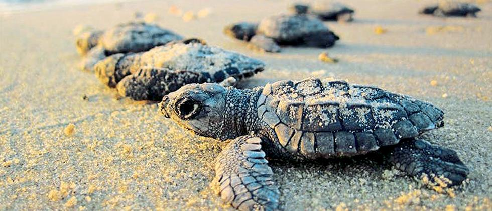 Goa: Turtles coming out from nests by Avit Bagle