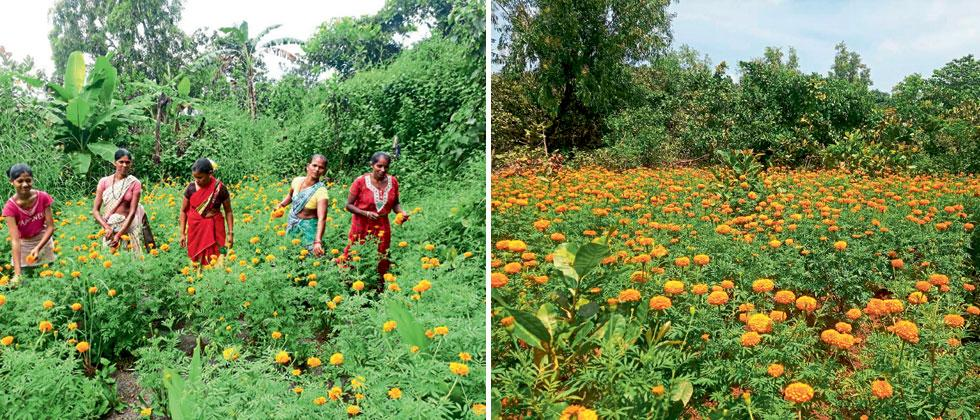 Marigold fields planted by self-help groups